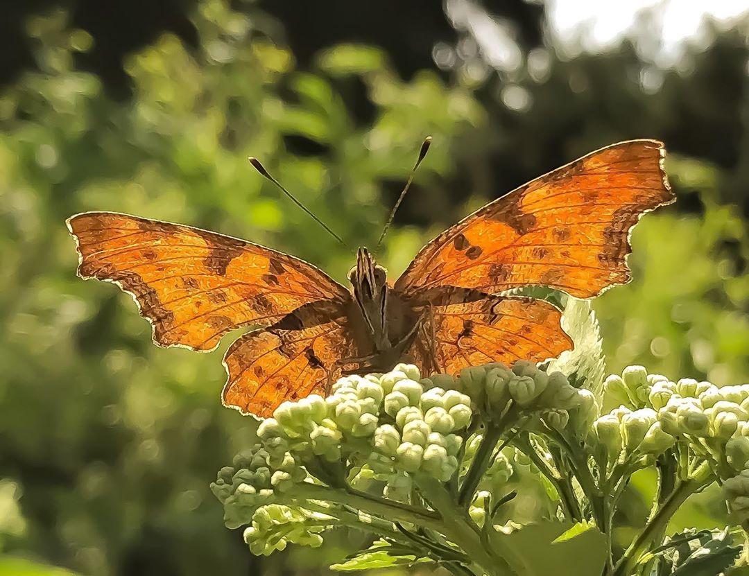 Donwload Photo Kaligrafi Yırtık pırtık kelebeği #kelebek #butterfly #doğa #orman #yeşil...- Osman Ozcay 1