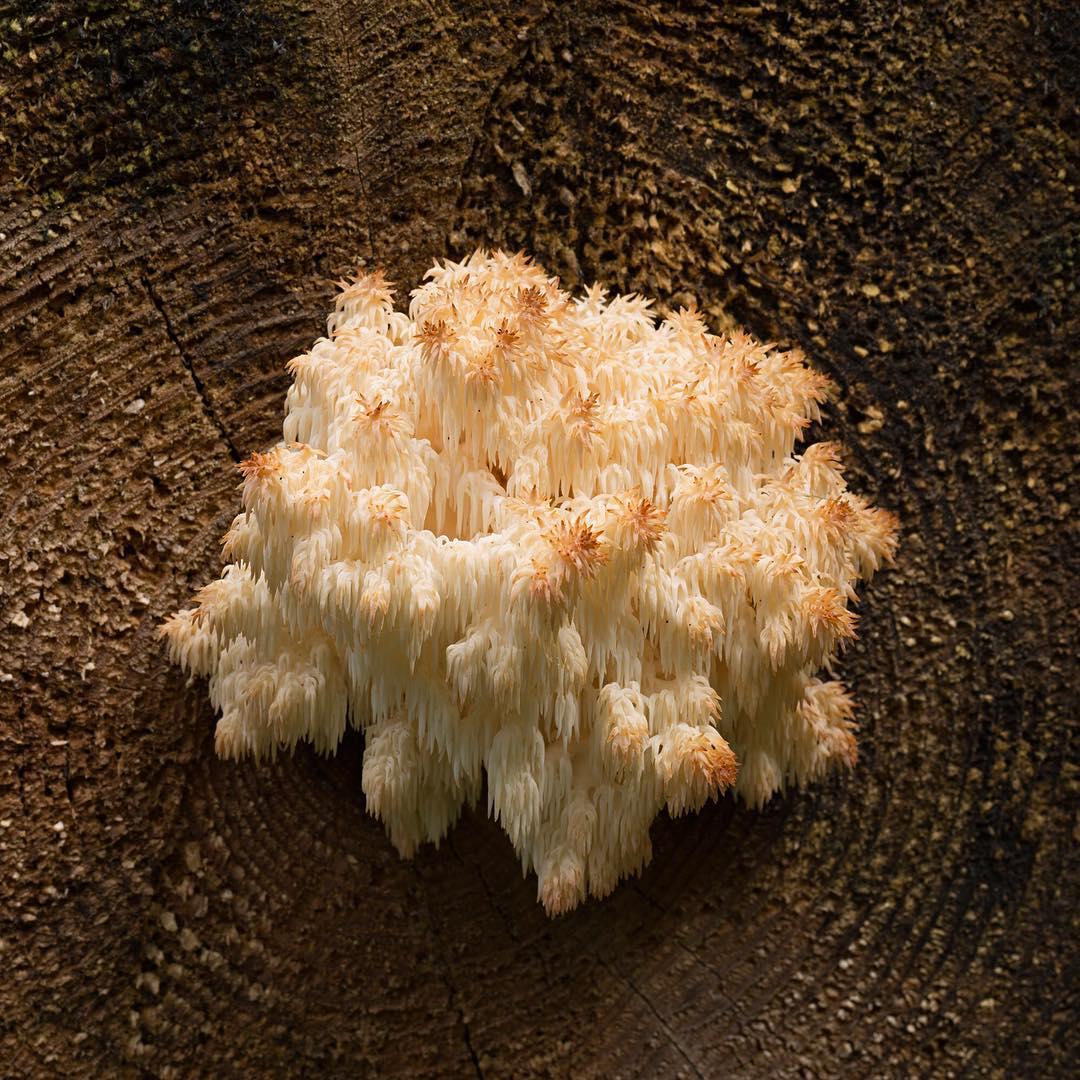"""Donwload Photo Kaligrafi Bu mantarın Latincesi """"Hericium coralloides"""". Yenen, lezzetli bir tür….- ozcay"""