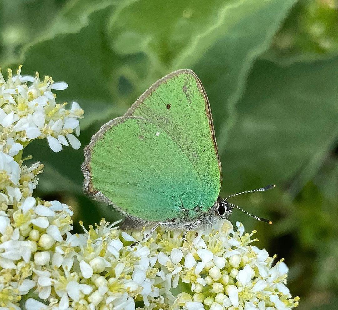 Donwload Photo Kaligrafi Anadolu Zümrütü #kelebek #butterfly…- Osman Ozcay