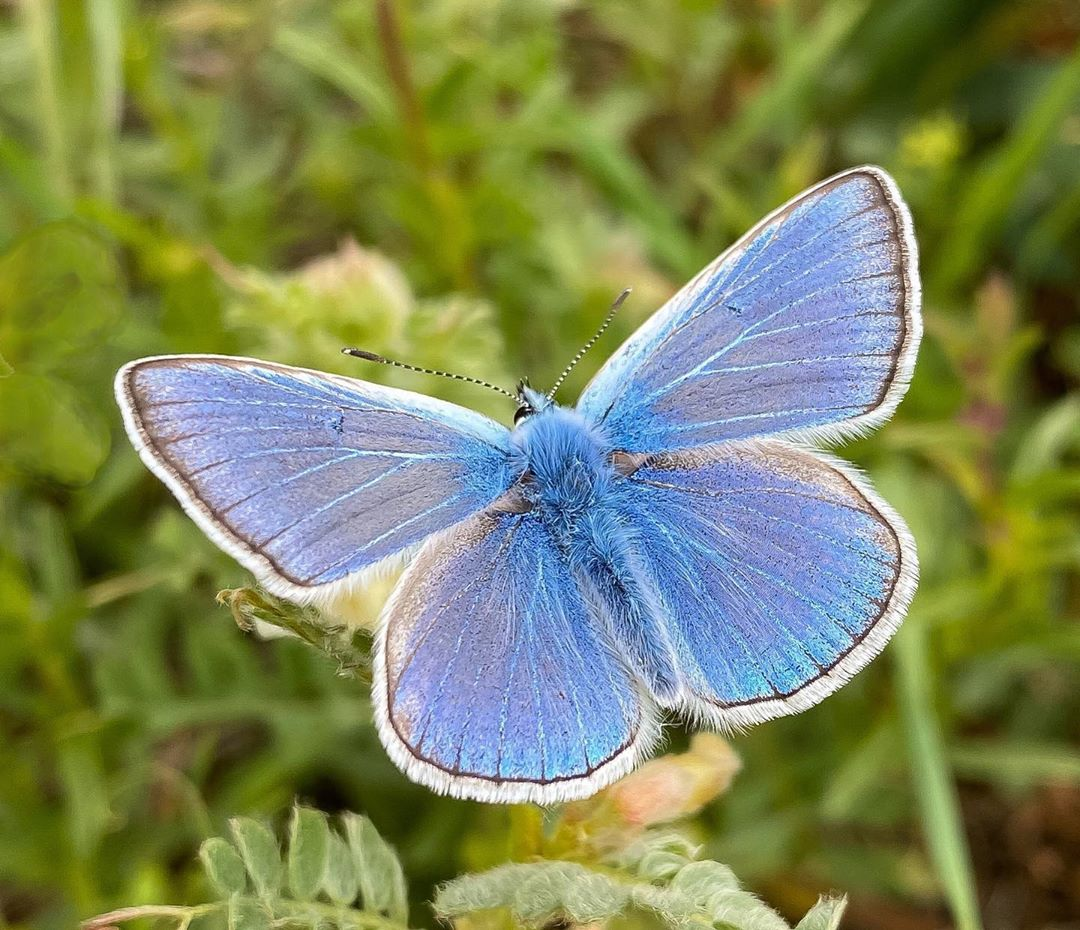 Donwload Photo Kaligrafi Çokgözlü mavi #kelebek #butterfly…- Osman Ozcay