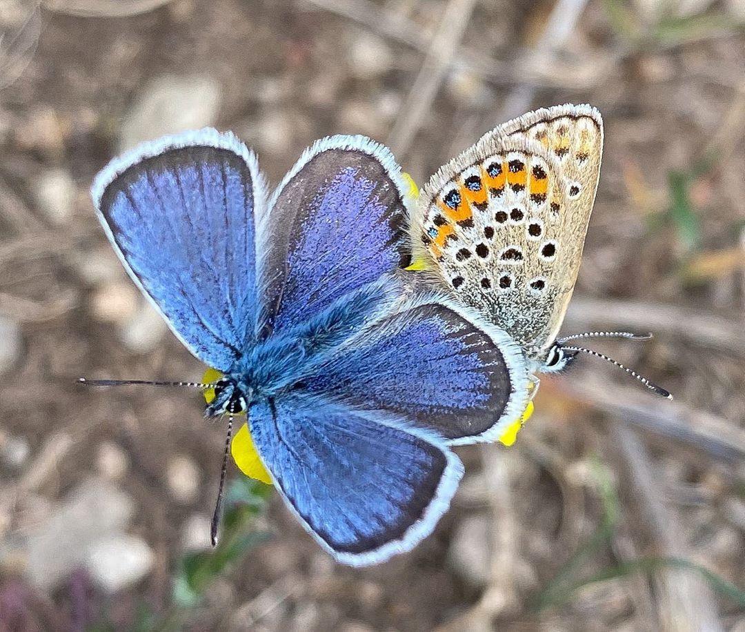 Donwload Photo Kaligrafi Çokgözlüler #kelebek #butterfly...- Osman Ozcay 1