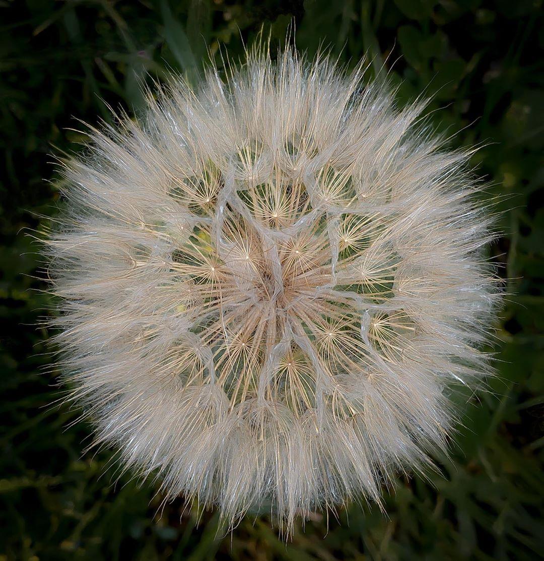 Donwload Photo Kaligrafi Karahindiba #macro #çiçek #doğa…- Osman Ozcay