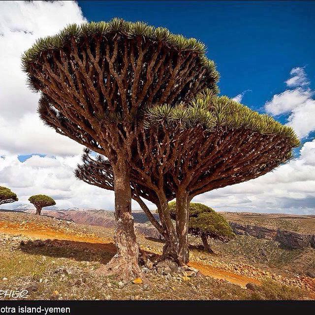 Khat Diwani Ajhalawani/Amr من الأشجار النادرة في اليمن جزيرة سقطرى (شجرة دم الأخوين)… 94