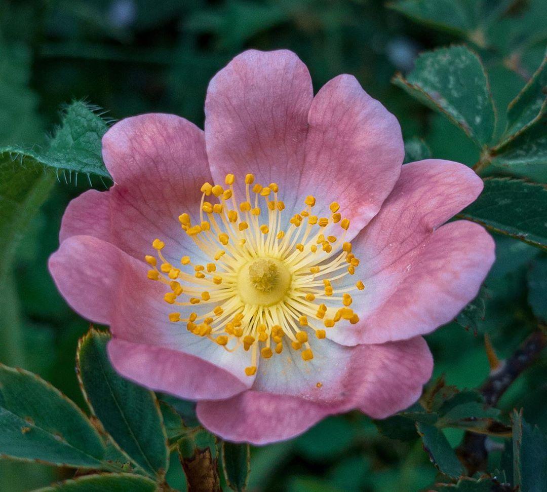 Donwload Photo Kaligrafi Kuşburnu Çiçeği #çiçek #doğa #yeşil…- Osman Ozcay