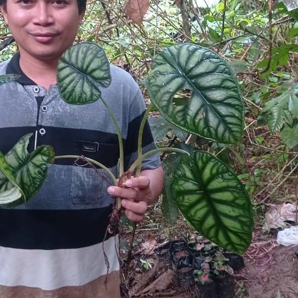 Donwload Photo Kaligrafi Keladi tengkorak silver dan hijau. Open order keladi Kalimantan via wa 081389289...- Syamsul PKA Lemka 3