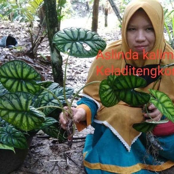 Donwload Photo Kaligrafi Keladi tengkorak silver dan hijau. Open order keladi Kalimantan via wa 081389289...- Syamsul PKA Lemka 4