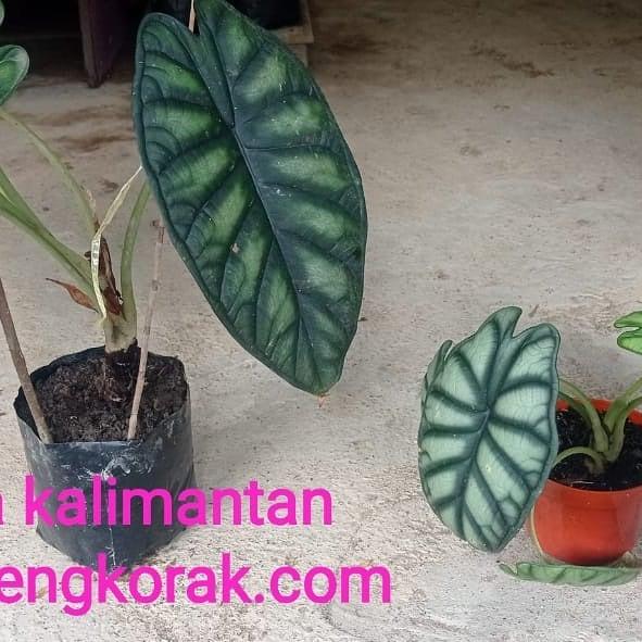 Donwload Photo Kaligrafi Open order keladi Kalimantan  Keladi tengkorak silver dan hijau.  Order via wa 0...- Syamsul PKA Lemka 2