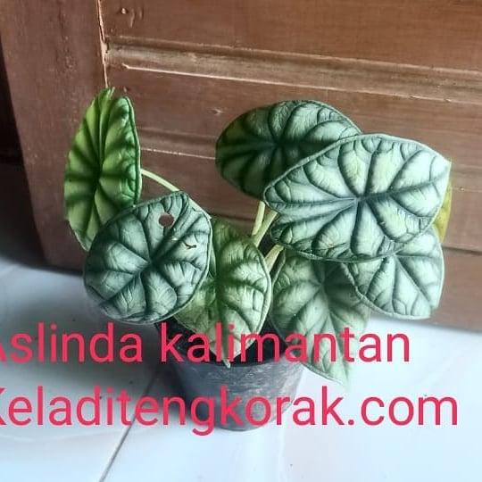 Donwload Photo Kaligrafi Open order keladi Kalimantan  Keladi tengkorak silver dan hijau.  Order via wa 0...- Syamsul PKA Lemka 3