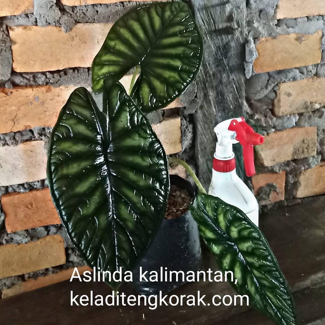 Donwload Photo Kaligrafi Keladi tengkorak silver dan hijau. Open order keladi Kalimantan via wa 081389289...- Syamsul PKA Lemka 1
