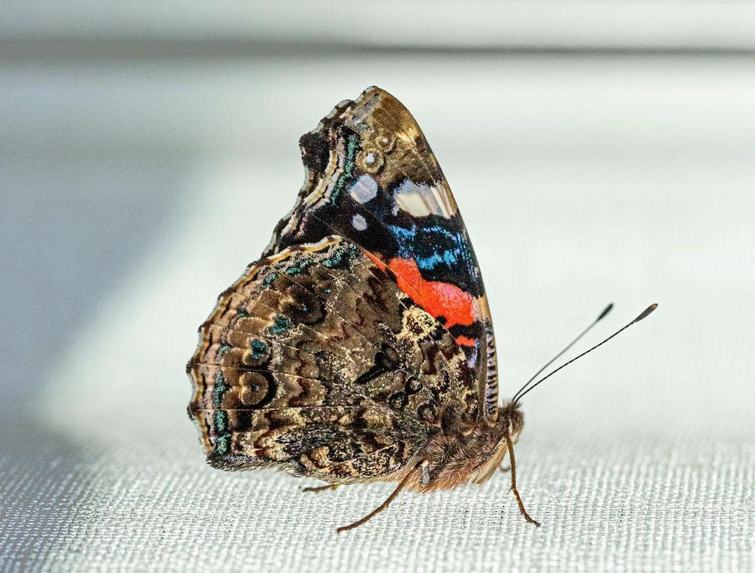 Donwload Photo Kaligrafi Vanessa Cardui / Diken Kelebeği #kelebek #butterfly...- ozcay 2