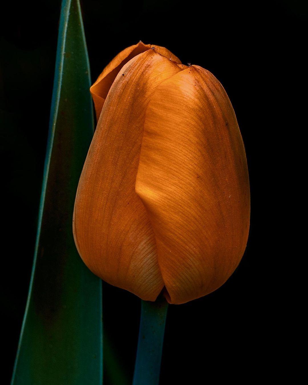 Donwload Photo Kaligrafi #lale #çiçek #doğa…- Osman Ozcay